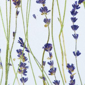 Innerspace Cheshire - Resin - Lavender