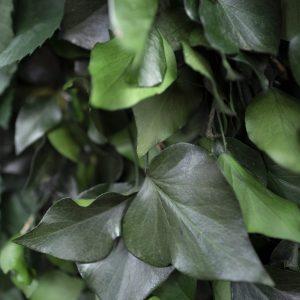 NATUREVERDE - Foliage - Ivy